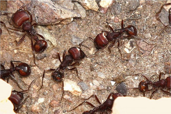 Evolution Shapes New Rules for Ant Behavior, Stanford research finds | All About Ants | Scoop.it