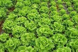 Promueve FIRA cultivo de lechuga hidropónica - Oaxaca | Cultivos Hidropónicos | Scoop.it