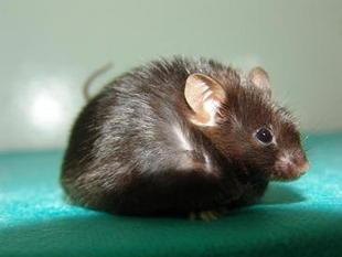 Hamsters rusos reproduccion asexual de las plantas