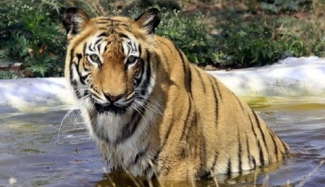 Bangladesh police shoot dead six tiger poachers after drastic fall in big cat ... - South China Morning Post (subscription) | Cats Rule the World | Scoop.it
