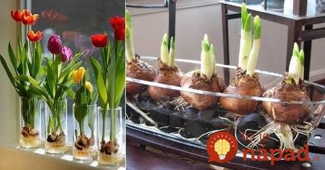 Záhrada na parapete: Nádherné tulipány si vypestujte jednoducho za oknom, pokojne aj v zime! | domov.kormidlo.sk | Scoop.it