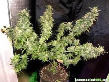 250W LED Grow Journal   9 3 oz Harvest   Grow W 250W LED Grow Journal   9 3 oz Harvest   Grow W . Aerogarden Cannabis Harvest. Home Design Ideas