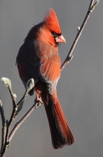 What is the GBBC? — Great Backyard Bird Count   Online resources relevant to Design and Technologies Education - Designing for the future   Scoop.it