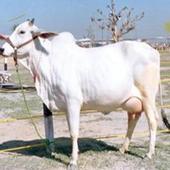 Murrah Buffalo Suppliers in Haryana|Sale Buffal