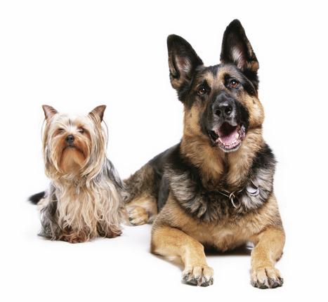 Dog-Gone Genetics: A Few Genes Control Fido's Looks : NPR | Teaching High School Genetics | Scoop.it