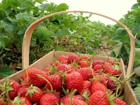 Delicious Italy - Top 10 Strawberry Festivals in Italy | Italian food and travel | Scoop.it