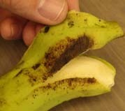 The history of gene discovery in banana - Rodomiro Ortiz on AgBioDiver blog | AnnBot | Scoop.it