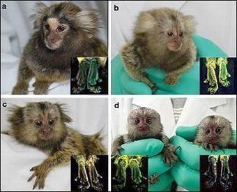 """Japoneses crean los primeros """"monos transgénicos"""" fluorescentes Sophimanía   Ciencia, política y Derecho   Scoop.it"""