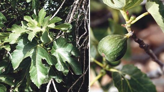 Farmers to get fig trees to counter parasite devastation