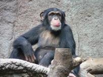 Researches find poop-throwing by chimps is a sign of intelligence | No Such Thing As The News | Scoop.it