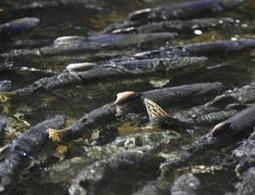 Climate change drives salmon evolution - life - 11 July 2012 - New Scientist | Science and Other Wild Affairs | Scoop.it
