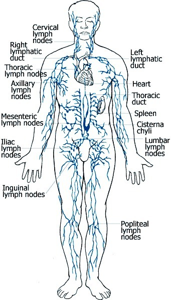 Scientists 'rediscover' the lymphatic system after hundreds of years | Anatomy | Scoop.it