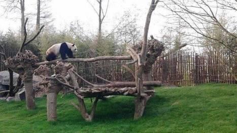 Brugelette: non,  la femelle panda n'attend pas un petit | Pays Vert | Scoop.it