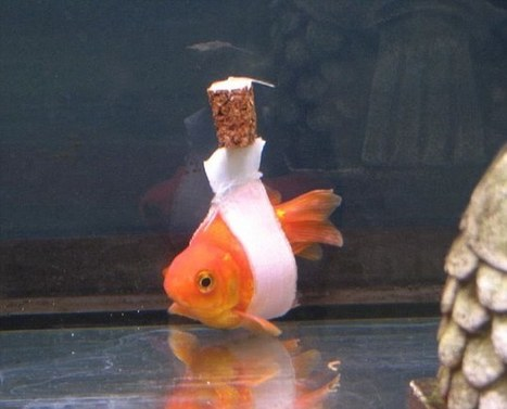 Whatever floats your boat: 'fish wheelchair' created for goldfish | Pet Sitter Picks | Scoop.it