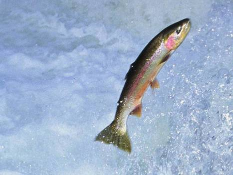 Look what's struggling to swim the Thames now… trout | The Glory of the Garden | Scoop.it