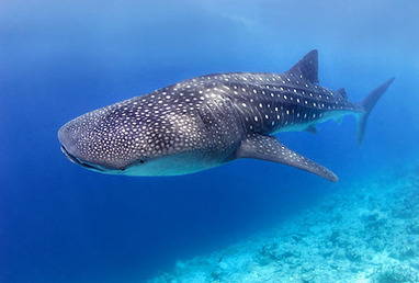 How to Spot a Whale Shark in the Belize Barrier Reef | Belize in Social Media | Scoop.it