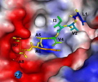 Insight into structural and Biochemical determinants of substrate specificity of PFI1625c: Correlation analysis of protein-peptide molecular models | bioinformatics | Scoop.it