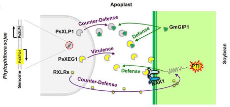 Science: A paralogous decoy protects Phytophthora sojae apoplastic effector PsXEG1 from a host inhibitor (2017) | Plants and Microbes | Scoop.it