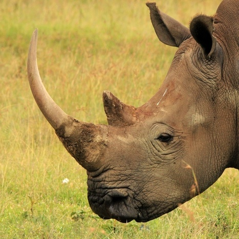 Auctioneer fined for rhino horns and elephant tusks | Rhino poaching | Scoop.it