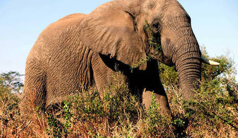 Elephant conservation: The need for political will | conservation & antipoaching | Scoop.it