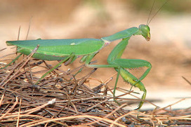 Gardens Inspired: Predators in the garden - Beneficial insects   forest gardening   Scoop.it
