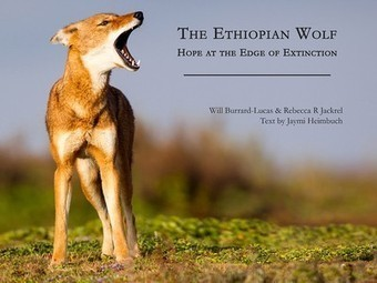The Ethiopian Wolf: Hope at the Edge of Extinction | Corinne | Scoop.it