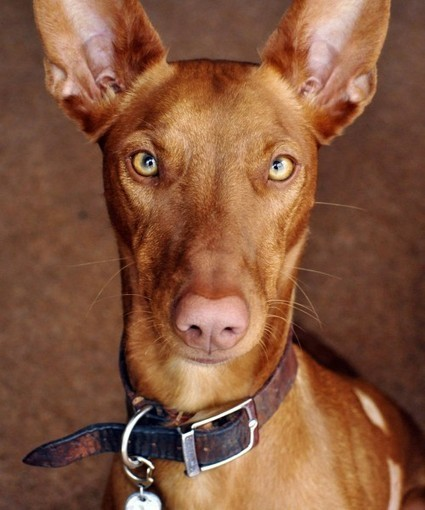 Top 10 Most Expensive Dog Breeds In The World |