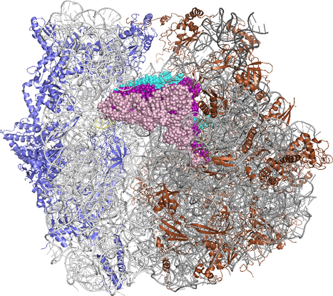 Mimicking living cells: Synthesizing ribosomes | Biosciencia News | Scoop.it