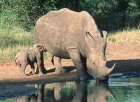 La sanglante traite des cornes de rhinocéros