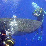 Dive with Belize Whale Sharks in 2012 | Belize in Social Media | Scoop.it