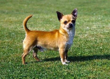 Extreme Pets: The Smallest, Tallest, Oldest and Fastest Dog and Cat Breeds | arcadeensure | Scoop.it