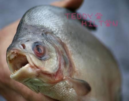 Piranhas Attack 100 People InBrazil | brazilianspirit | Scoop.it