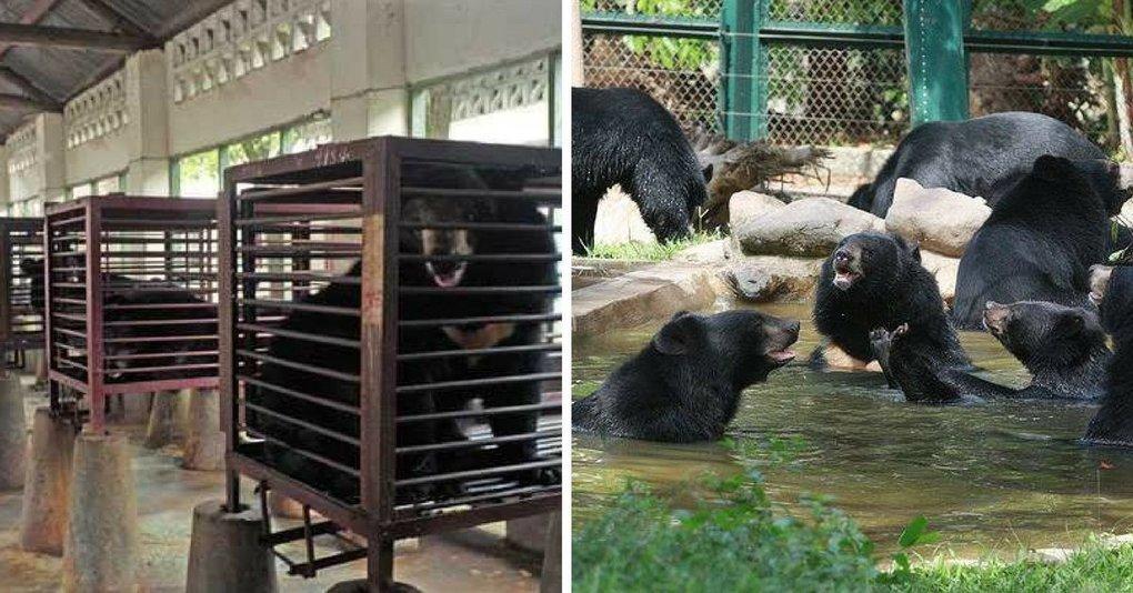 D'une vie en cage à la liberté : 1000 ours à bile vont être libérés au Vietnam.