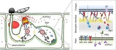 How eukaryotic filamentous pathogens evade plant recognition | PlantBioInnovation | Scoop.it