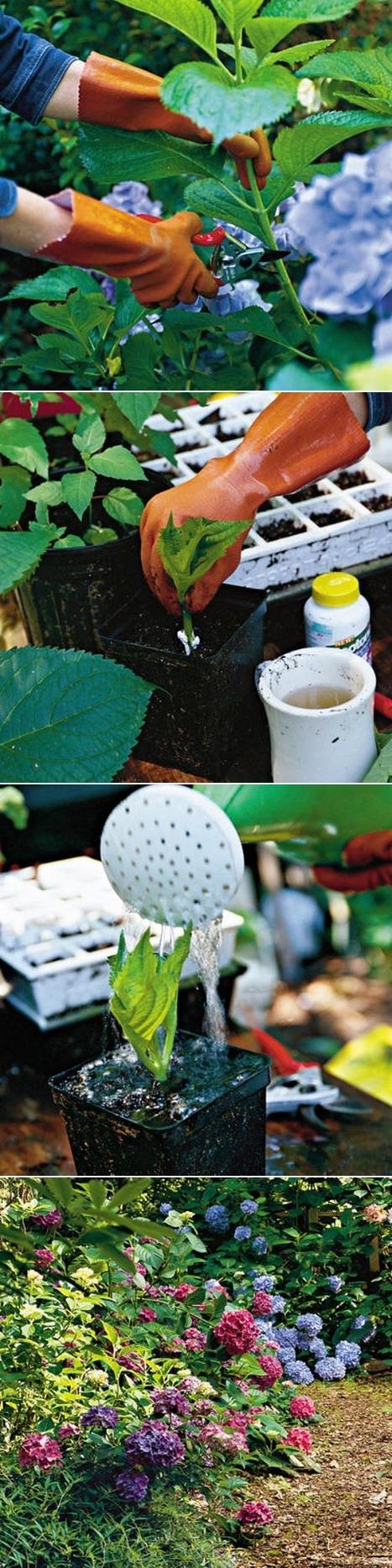 Growing hydrangea cuttings | Backyard Gardening | Scoop.it