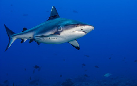 The Jelly Inside a Shark's Nose is More Electrically Sensitive Than Any Man Made Material on Earth | Biomimicry | Scoop.it