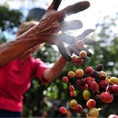 Coffee Fungus Outbreak Resumes: Scientific American | Sustain Our Earth | Scoop.it
