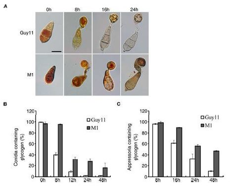 MoCDC14 is important for septation during conidiation and appressorium formation in Magnaporthe oryzae | Rice Blast | Scoop.it