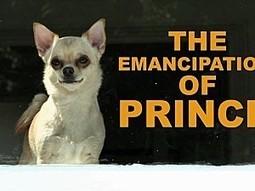 Humour: L'emancipation de Prince le Chihuahua !! (video) | cotentin webradio Buzz,peoples,news ! | Scoop.it