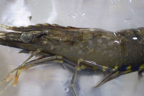 Devastating prawn disease found on farms near Brisbane; authorities destroy prawn stocks | Aquaculture Directory | Aquaponics~Aquaculture~Fish~Food | Scoop.it
