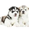 Cute Pomsky Puppies