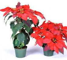 Phytoplasma Casts a Magic Spell that Turns the Fair Poinsettia into a Christmas Showpiece | Botany teaching & cetera | Scoop.it