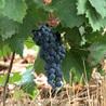 Corpus oral de vin
