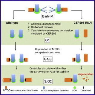 Stabilization of Cartwheel-less Centrioles for Duplication Requires CEP295-Mediated Centriole-to-Centrosome Conversion | CENTROSOME | Scoop.it