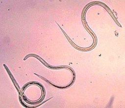 Feline Parasites: Preventing or Killing Those Nasty Creatures | Parasites | Scoop.it