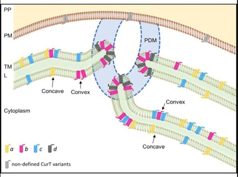 Thylakoid Membrane Architecture in Synechocystis Depends on CurT, a Homolog of the Granal CURVATURE THYLAKOID1 Proteins   Plant Biology Teaching Resources (Higher Education)   Scoop.it