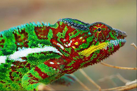 Chameleons change their colors by rearranging nanocrystals in their skin | Physics | Scoop.it