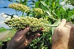 Wheat behind sorghum may cause yield drag | NCSU grains specialist advises | Research from the NC Agricultural Research Service | Scoop.it
