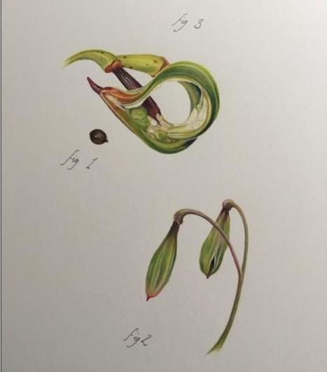 """The """"Raphael of Flowers"""": How Despite Photography Botanical Artists Still Thrive 