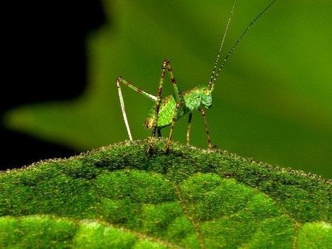 The parasite that manipulates a cricket's brain | Amazing Science | Scoop.it
